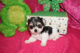 Lulu Female CKC Havashire $1750 Ready 5/3 HAS DEPOSIT MY NEW HOME ORANGE PARK, FL 1.4 lbs 5W5D old