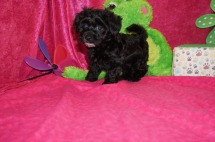 Misty Female CKC Havapoo $1750 Ready 4/21 SOLD MY NEW HOME ST JOHNS, FL 3.6lbs 7wk2d old