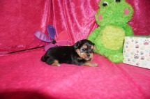 Sparky Male CKC Shorkie $1750 Ready 5/19 HAS HOLD 1.5lbs 3w3d old
