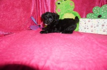 Windy Female CKC Havapoo $1750 Ready 4/21 SOLD MY NEW HOME CLEARWATER, FL 3.3lbs 7wk2d old