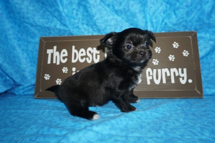 Pookie Male Miki $2000 Ready 5/12 SOLD MY NEW HOME GRATON, GA 1.12 lbs 6 Wks old