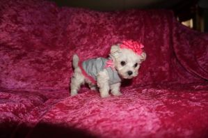 Giggles Female CKC Maltipoo $2000 Ready 5/31 SOLD MY NEW HOME JACKSONVILLE, FL 1.2 lbs 6W6D Old