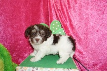 Coconut Male CKC Havanese $2000 Ready 4/23 SOLD MY NEW HOME PONTE VEDRA, FL 2.10 Lbs 7W2D old