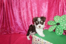 Blueberry Male CKC Havanese $2000 Ready 4/21 SOLD MY NEW HOME JACKSONVILLE, FL 2.7 Lb 7W2D Old