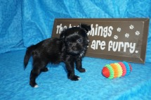 Penelope Female Miki $2000 Ready 5/12 SOLD MY NEW HOME MOUNT OLIVE, MS 15 oz 6 wks old