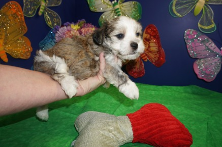 Tiger Eye Male CKC Havanese $1750 AVAILABLE 4/13 SOLD MY NEW HOME ALEXANDRA, VA 2.4 LBS 6W4D Old
