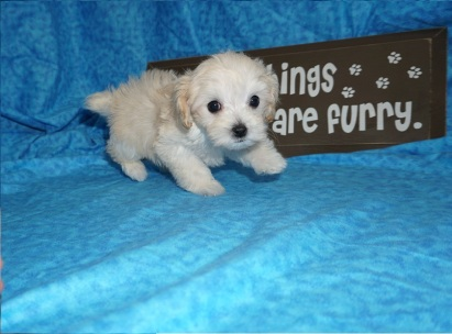 Anastasia Female CKC Maltipoo $1750 Ready 5/8 SOLD MY NEW HOME ORANGE PARK, FL 1.10 lbs 7W1D Old