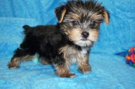 Sold Carrie Underwood Gorgeous Female Ckc Yorkie Ready To Steal