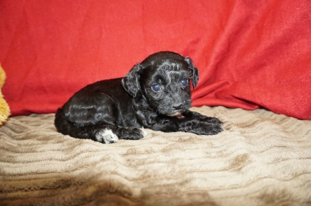 Charlie Brown Male CKC Havapoo $1750 Ready 6/6 AVAILABLE 1.10 lbs 5 wks old