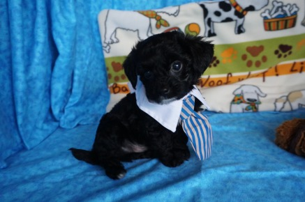 Charlie Brown Male CKC Havapoo $1750 Ready 6/6 SOLD MY NEW HOME ATLANTIC BEACH,, FL 2.2 lbs 7 wks old