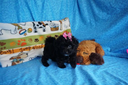Lucy Female CKC Havapoo $1750 Ready 6/6 SOLD MY NEW HOME MILWAUKEE, WI 1.6 lbs 7 wks old