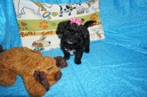 1 Gentle Peppermint Patty 2.7 lbs 7 Weeks old 011