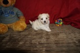 Hiccup Male CKC Maltipoo $1750 Ready 5/31 HAS DEPOSIT! My new home is in Homosassa, Fl 1.3 lbs 5W3D Old