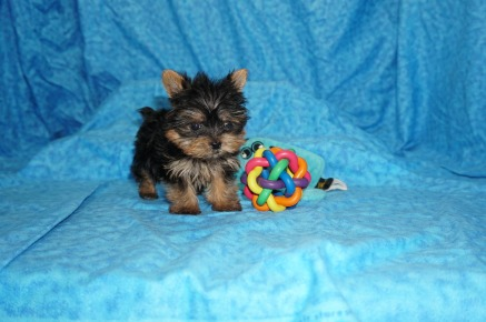 Jordan Sparks Female CKC Yorkie $2000 Ready 7/11 SOLD MY NEW HOME JACKSONVILLE, FL 12 oz 7W6D old
