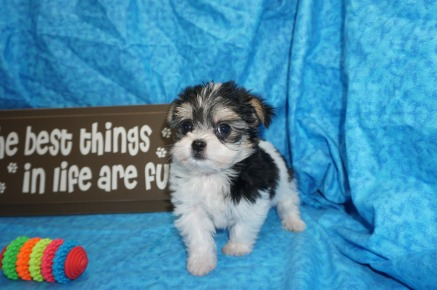 Lulu Female CKC Havashire $1750 Ready 5/3 SOLD MY NEW HOME ORANGE PARK, FL 1.10 lbs 7W5D old