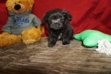 Peanut Male Miki $2000 Ready 5/12 HAS DEPOSIT MY NEW HOME LOVELAND, CO 1.8 Lbs 8 Wks Old