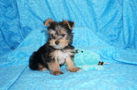 Phillip Phillips Male CKC Yorkie $1750 Ready 7/11 SOLD MY NEW HOME PONTE VEDRA, FL 1.7 lb 7W6D old
