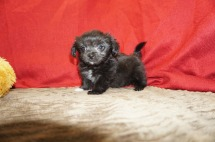 Pippi Longstocking Female Miki $2000 Ready 5/12 SOLD MY NEW HOME YULEE, FL 1.12 lbs 8 wks old