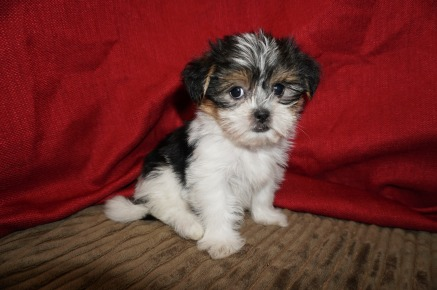 Sadie Female CKC Shorkie $1750 Ready 5/19 SOLD MY NEW HOME DELRAY BEACH, FL 2.3 Lbs 7W1D Old
