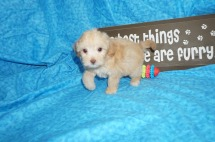 Anabella Female CKC Maltipoo $1750 Ready 5/8 SOLD MY NEW HOME MEMPHIS, TN 1.14 lbs 7W1D Old
