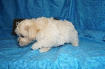 Andy Male CKC Maltipoo $1750 Ready 5/8 SOLD MY NEW HOME WINDERMRE, FL 1.15 lbs 7W1D Old