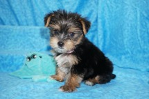 Carrie Underwood Female CKC Yorkie $1750 Ready 7/11 SOLD MY NEW HOME ST JOHNS, FL weighs 1.9 lbs 7W6D old