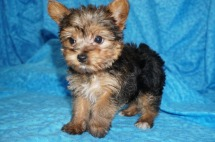 Ebba Female Yorkie $1750 Ready 7/10 SOLD MY NEW HOME JACKSONVILLE, FL 1.11 lbs 8 weeks Old