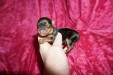 Ebba Female Yorkie $1750 Ready 7/10 AVAILABLE 6 OZ Just Born