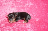 Fantastia Female CKC Yorkie $1750 Ready 7/11 AVAILABLE 5.6 oz 1 Day Old