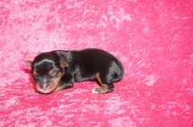 Fantastia (Sophie) Female CKC Yorkie $1750 Ready 7/11 HAS DEPOSIT MY NEW HOME JACKSONVILLE, FL 5.6 oz 1 Day Old