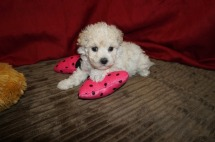 Melody Female CKC Maltipoo $1750 Ready 5/31 SOLD MY NEW HOME CORAL SPRINGS, FL1.09 lbs 5W3D Old