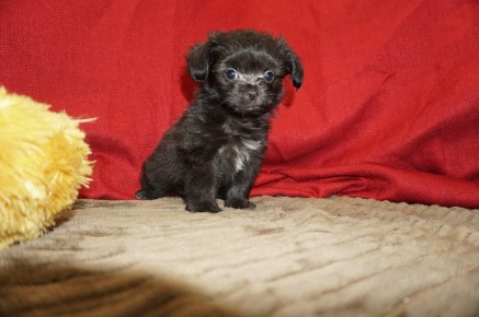Peanut Male Miki $2000 Ready 5/12 SOLD MY NEW HOME JACKSONVILLE, FL 1.8 Lbs 8 Wks Old