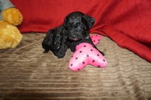 Peppermint Patty Female CKC Havapoo $1750 Ready 6/6 HAS DEPOSIT MISSOURI CITY, TX 1.12 lbs 5 WKS Old