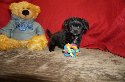 Pollyanna Female Miki $2000 Ready 5/12 SOLD MY NEW HOME LOVELAND, CO 2.1 Lbs 8 Wks Old