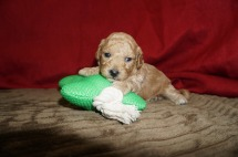 Samsung Male CKC Maltipoo $1750 Ready 6/16 HAS DEPOSIT MY NEW HOME BRANDON, FL 1.3 lbs 3 Wks old