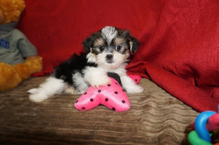 Sasha Female CKC Shorkie $1750 Ready 5/19 SOLD MY NEW HOME JACKSONVILLE, FL 2.4 Lbs 7W1D Old