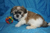 Snickerdoodles Male CKC Malshipoo $1750 Ready 7/18 SOLD MY NEW HOME MARSHALL, MI 2.9 lbs 7 wks Old