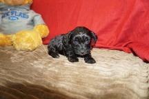 Snoopy Male CKC Havapoo $1750 Ready 6/6 HAS DEPOSIT MY NEW HOME JAX, FL 1.5 Lbs 5 WKS Old