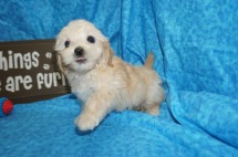 Angelo Male CKC Maltipoo $1750 Ready 5/8 SOLD MY NEW HOME WESLEY CHAPEL, FL 2 lbs 7W1D Old