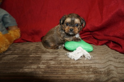 Bear Male CKC Shorkie $1750 Ready 5/31 SOLD MY NEW HOME JACKSONVILLE, FL 1.14 lbns 5W2D Old