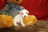 Echo Male CKC Havanese $1750 Ready 6/15 HAS DEPOSIT MY NEW HOME FT McCOY, FL 15.5 oz 3W3D Old