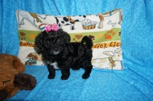 Peppermint Patty Female CKC Havapoo $1750 Ready 6/6 SOLD MISSOURI CITY, TX 2.7 lbs 7 WKS Old