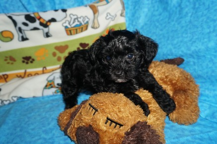 Snoopy Male CKC Havapoo $1750 Ready 6/6 SOLD MY NEW HOME JAX, FL 2.1 Lbs 7 WKS Old