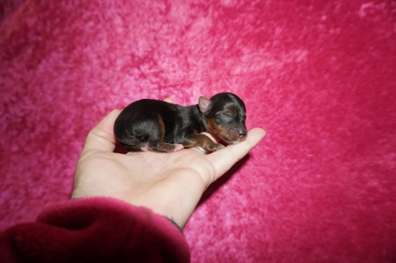 Kelly Clarkson Female CKC T-Cup Yorkie $2000 Ready 7/11 HAS DEPOSIT MY NEW HOME GULFPORT, MS 3 oz 1 Day Old