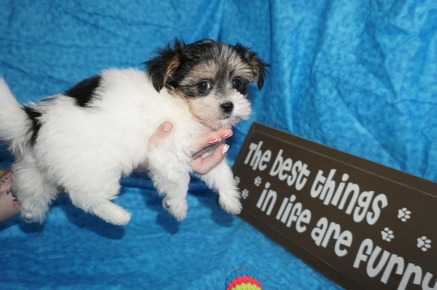 Lily Female CKC Havashire $1750 Ready 5/3 SOLD MY NEW HOME ST AUGUSTINE, FL 1.10 lbs 7W5D Old