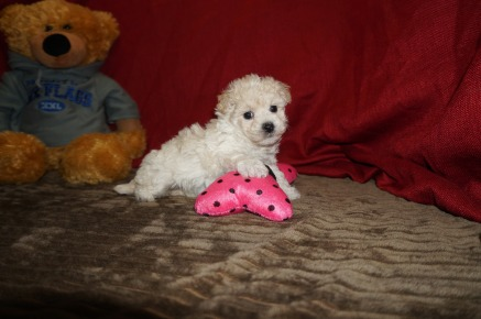 Melody Female CKC Maltipoo $1750 Ready 5/31 SOLD MY NEW HOME CORAL SPRINGS, FL 1.09 lbs 5W3D Old