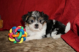 Sadie Female CKC Shorkie $1750 Ready 5/19 SOLD MY NEW HOME DELRAY,BEACH, FL 2.3 Lbs 7W1D Old