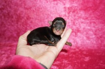 Scotty McCreery Male CKC T-cup Yorkie $2000 Ready 7/11 HAS DEPOSIT MY NEW HOME JAX, FL 4 oz 1 Day Old