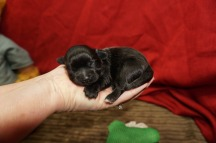 Violet Female CKC Maltipoo $1750 Ready 7/4 AVAILABLE 8.2 oz 6 Days Old