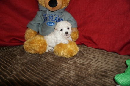 Bach Male CKC Maltipoo $1750 Ready 5/31 SOLD MY NEW HOME ST AUGUSTINE, FL 1.05 lbs 5W3D Old